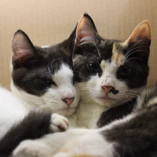1089 - Speck - Domestic Short Hair Cat