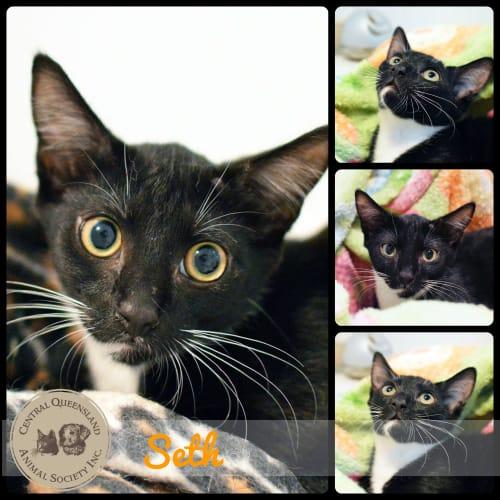 Seth - Domestic Short Hair Cat