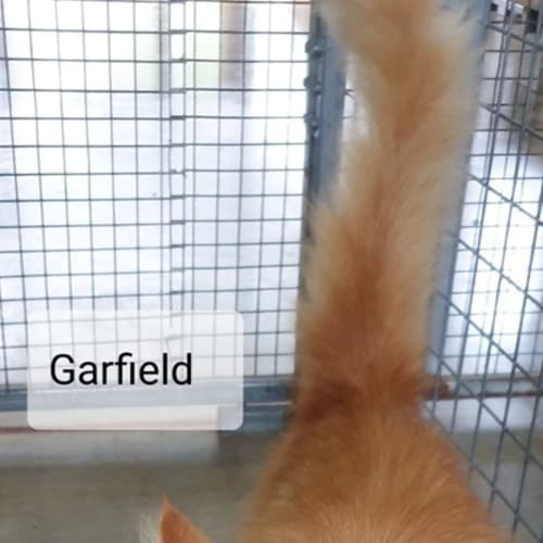 Garfield - Ragdoll x Persian Cat