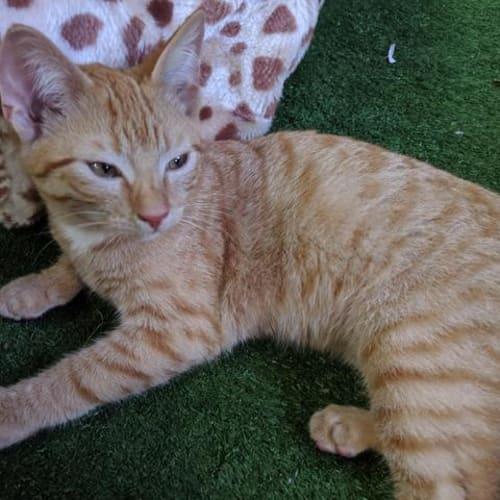 Ginger Snaps - Domestic Short Hair Cat