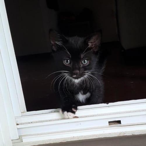 Kaluha - Domestic Short Hair Cat