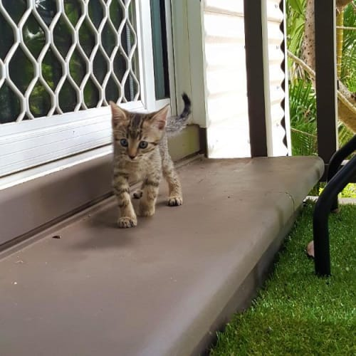 Spritz - Domestic Short Hair Cat