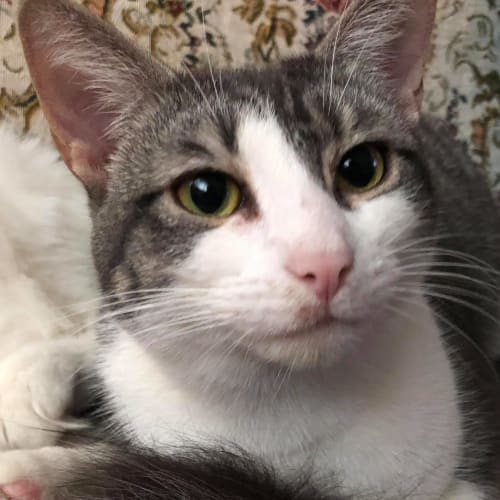 Chillee (Located in Oakleigh) - Domestic Short Hair Cat