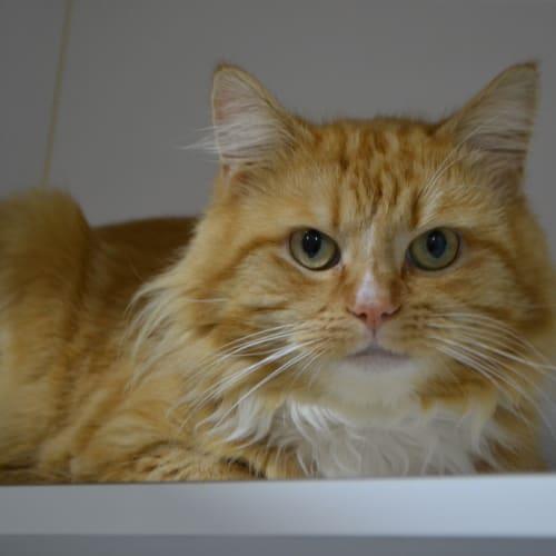 Ardie - Domestic Medium Hair Cat