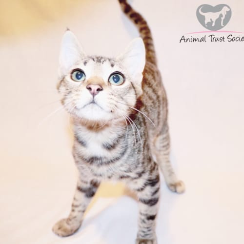 Bento - Domestic Short Hair Cat