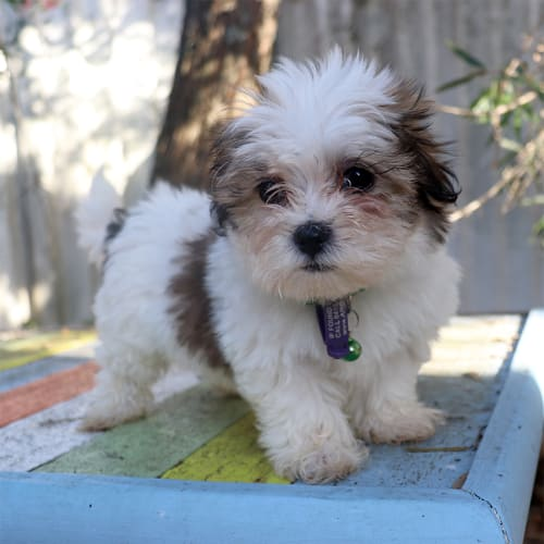 Alys - Shih Tzu Dog