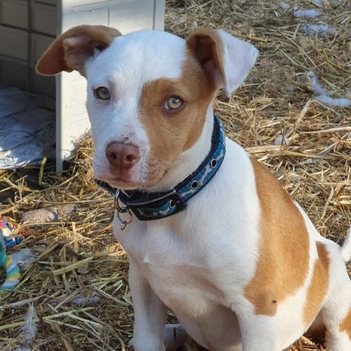 Courtney - Staffordshire Bull Terrier x Koolie Dog