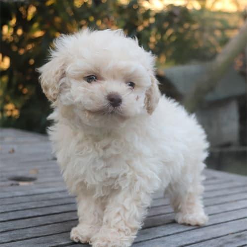 Bren - Poodle Dog