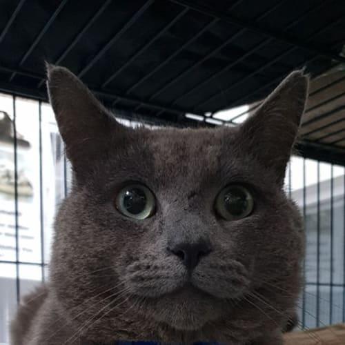 Gidget - Domestic Short Hair Cat