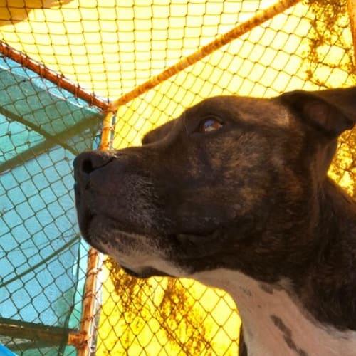 Mickey - Staffordshire Bull Terrier Dog