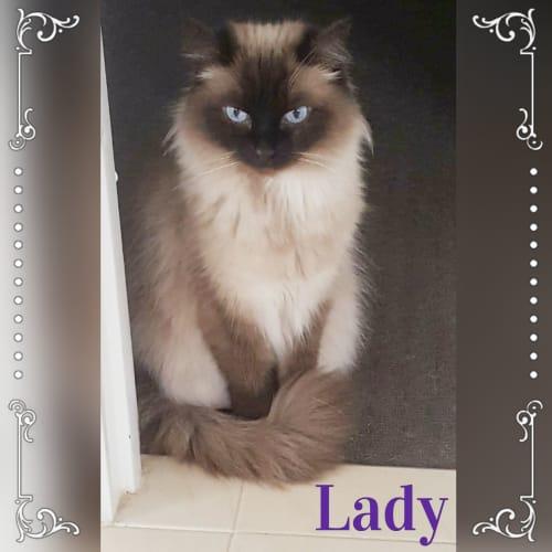 Lady - Ragdoll Cat