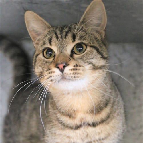 Dwayne - Domestic Short Hair Cat