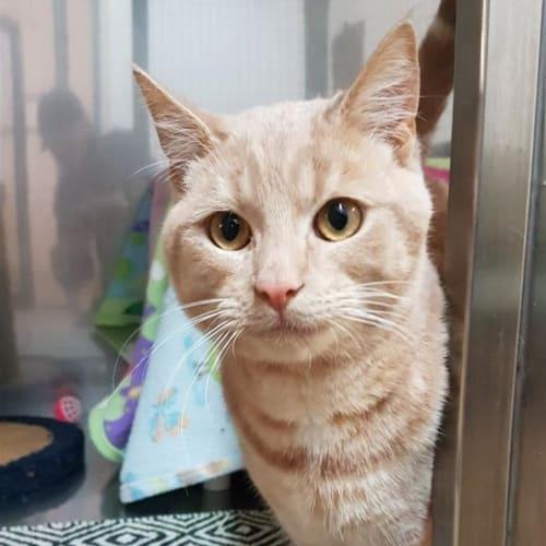 Tanner - Domestic Short Hair Cat