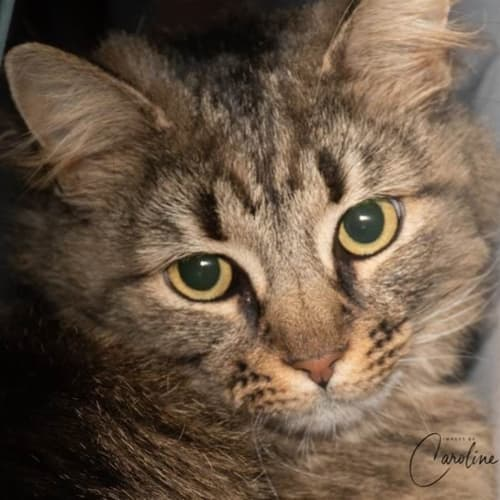 Fluffy Quinn - Domestic Medium Hair Cat