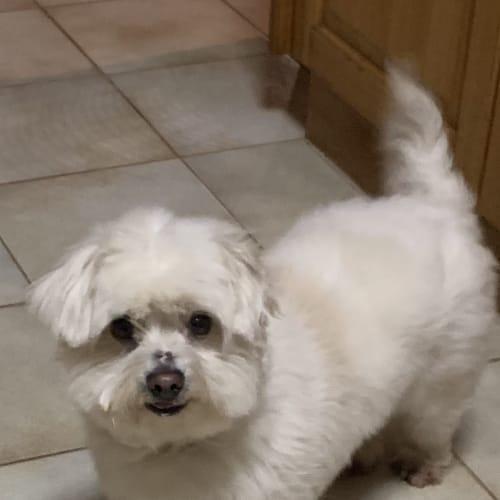 Brodie (on trial) - Maltese x Shih Tzu Dog