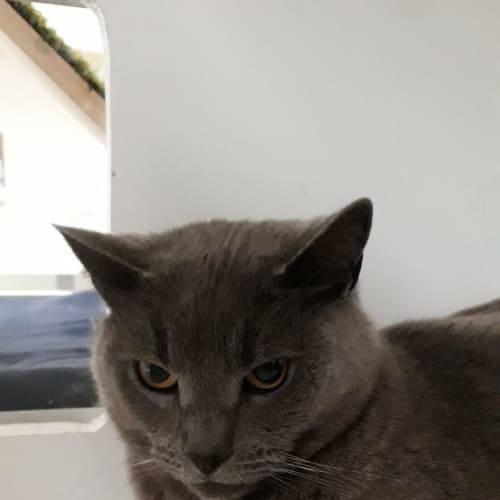 Cavvie - Domestic Short Hair Cat