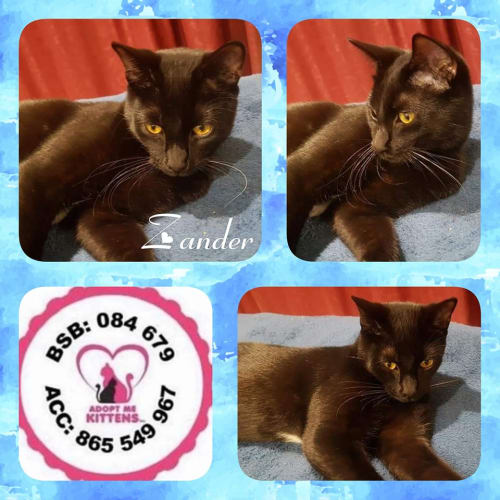 Zander - Domestic Short Hair Cat
