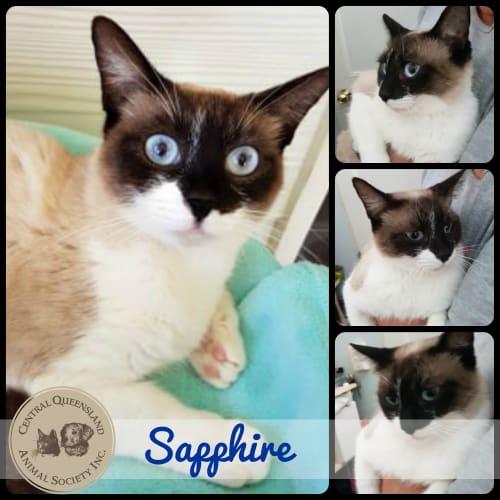 Sapphire - Himalayan Cat