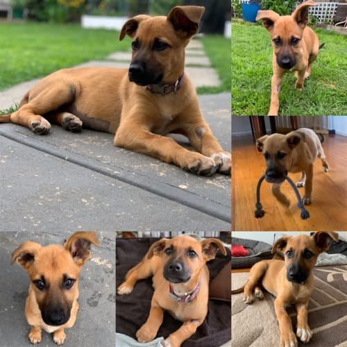 Cyndi - German Shepherd Dog