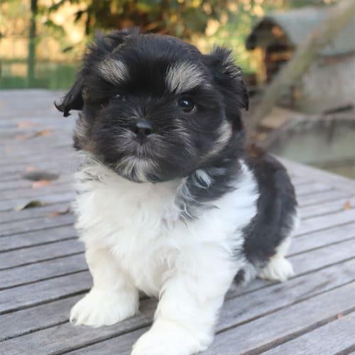 Boyd - Shih Tzu Dog