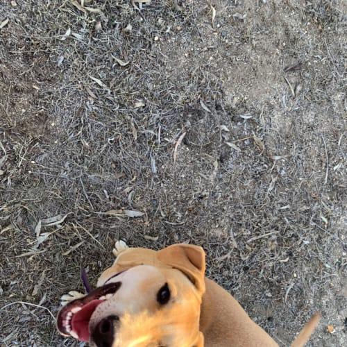 Treacle - Staffy Dog