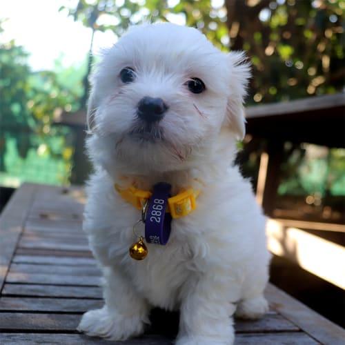 Rydan - Poodle x Maltese Dog