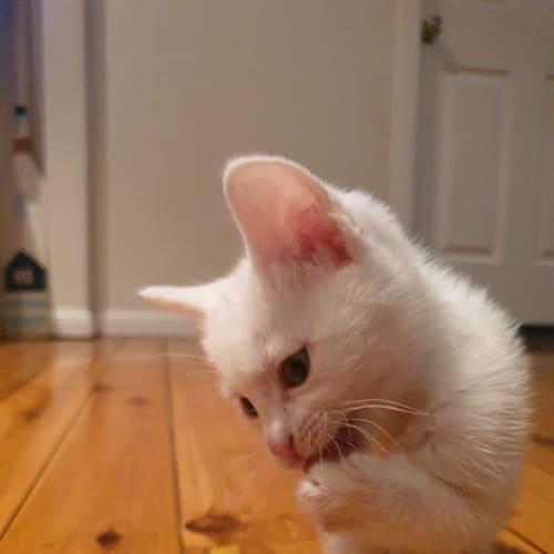 Zima - Domestic Medium Hair Cat