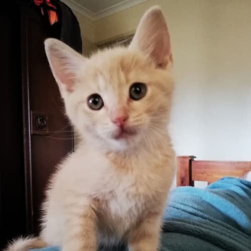 Ego - Domestic Medium Hair Cat