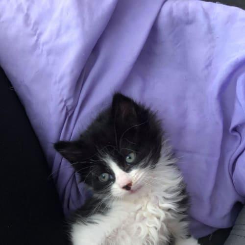 Ruffles - Persian Cat