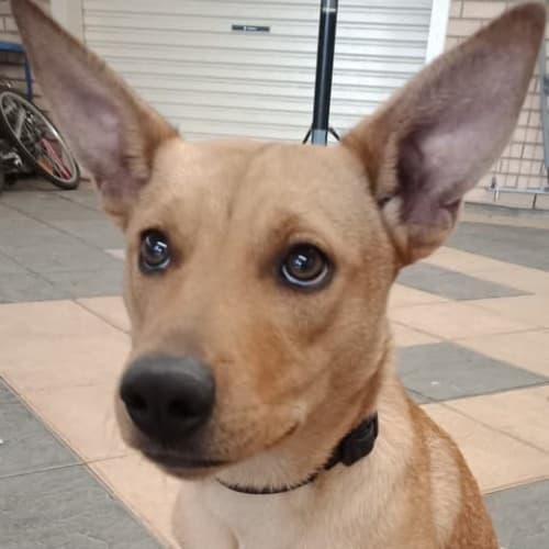 **On Trial** Coco - Kelpie Dog