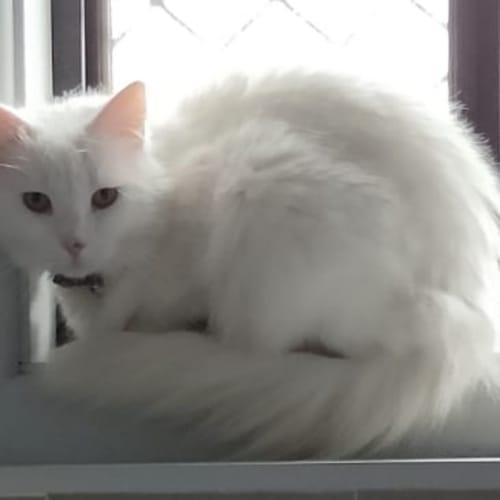 Luna - Domestic Long Hair Cat