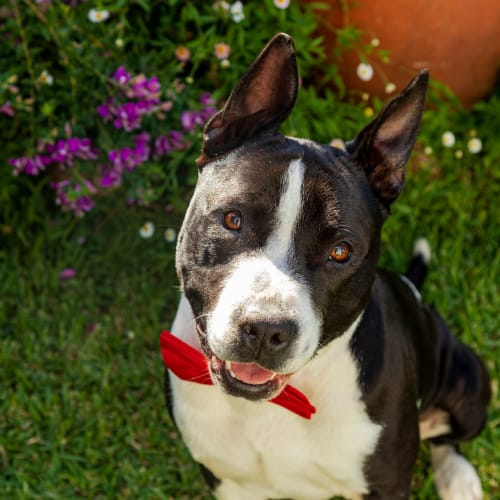 Boss ~ 18 month old American Staffy X - American Staffordshire Terrier Dog