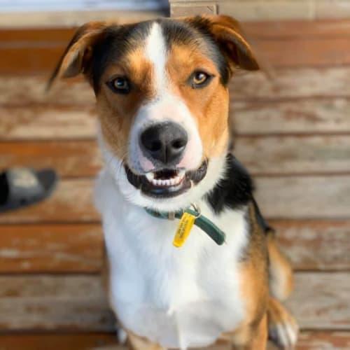 Duke D0090 - Kelpie x Huntaway Dog