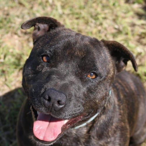 Dave  - Staffordshire Bull Terrier Dog