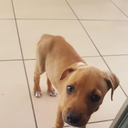 CJ - Bull Arab Dog