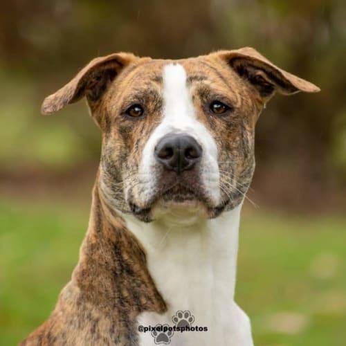 Stubbs - American Bulldog