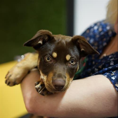 Lane - Kelpie Dog