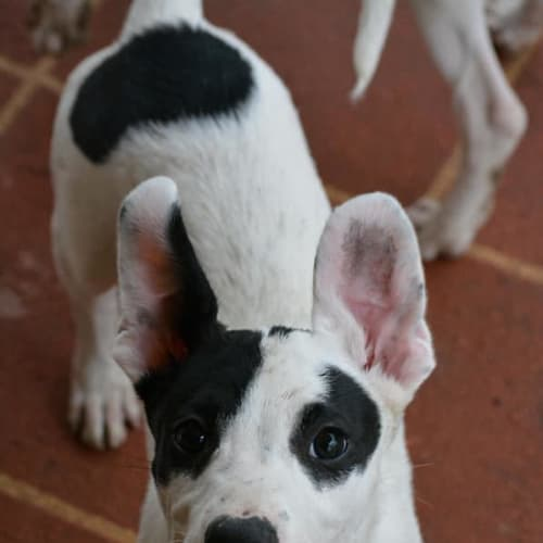Chevy - Border Collie x Kelpie Dog