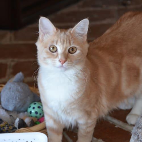 Fudge - Domestic Medium Hair Cat