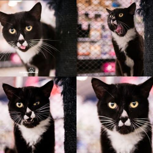 1567 - Jimmy - Domestic Short Hair Cat