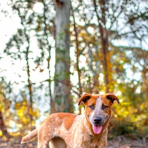 Coco - Bull Arab Dog