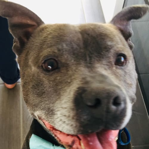 Frankie  - Staffordshire Bull Terrier Dog