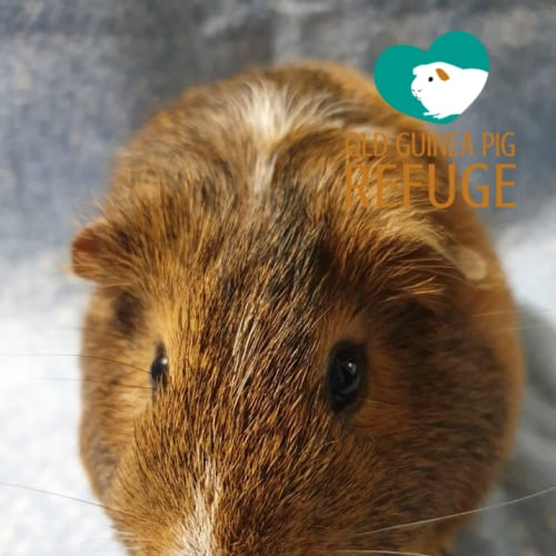 Crackers (desexed male) - Smooth Hair Guinea Pig