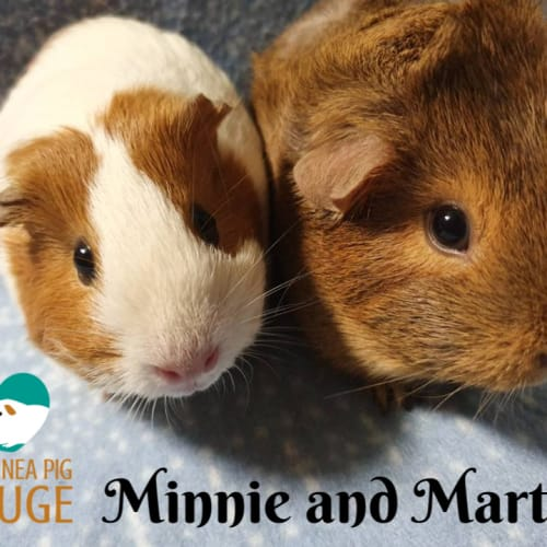 Minnie and Martha - Smooth Hair x Abyssinian Guinea Pig