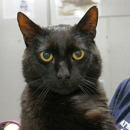 Alfred SUA004338 - Domestic Short Hair Cat