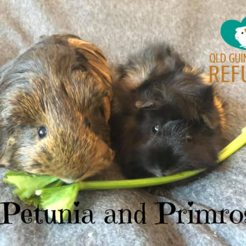 Petunia and Primrose (indoor home preferred) - Sheltie x Abyssinian Guinea Pig