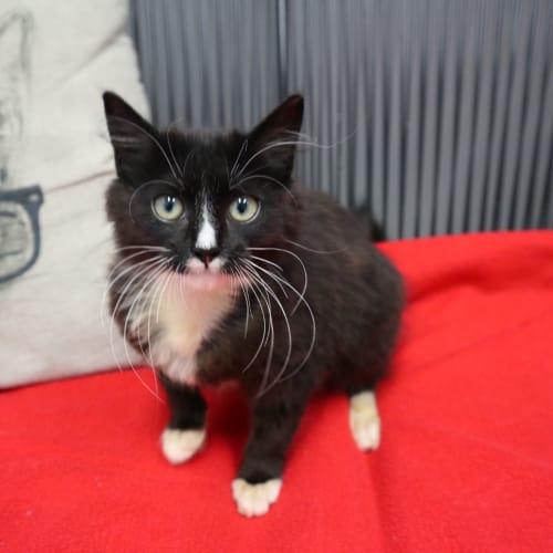 Jake - Domestic Medium Hair Cat