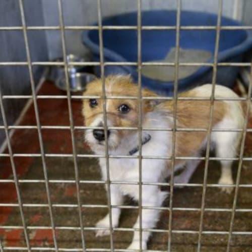 Regina (Urgent!!) - Irish Wolfhound Dog