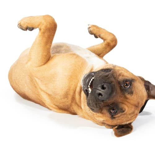 Cash - American Staffordshire Terrier Dog