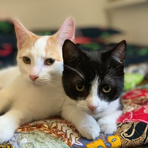 Lady Bug and Bee - Domestic Short Hair Cat